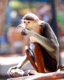 Macaqueapen vijf kleuren (rood-Shanked Douc) Royalty-vrije Stock Afbeeldingen