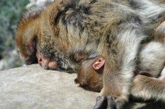 Macaqueapor fostrar och behandla som ett barn att sova på vagga av Gibraltar Royaltyfri Fotografi