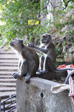 Macaqueapor som ansar på Batu grottor, Kuala Lumpur Royaltyfri Fotografi