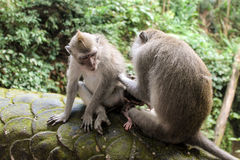 Macaqueapor som ansar sig i Ubud, Bali Arkivfoto