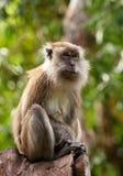 Macaquefallhammer Lizenzfreie Stockbilder