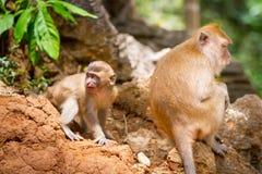 Macaquefallhammer in den wild lebenden Tieren Stockfotos