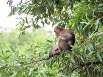 Macaquefallhammer, der auf einem Baum sitzt Lizenzfreie Stockfotos