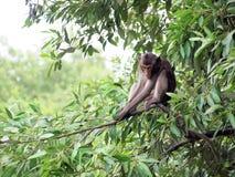 Macaquefallhammer, der auf einem Baum sitzt Lizenzfreies Stockbild