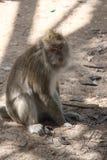Macaquefallhammer, der aus den Grund sitzt Stockbild