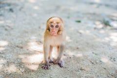Macaquefallhammer, der aus den Grund sitzt Peildeck, Vietnam Stockfoto
