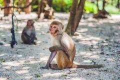 Macaquefallhammer, der aus den Grund sitzt Peildeck, Vietnam Lizenzfreie Stockfotos