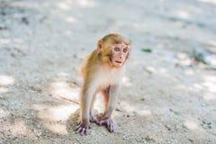 Macaquefallhammer, der aus den Grund sitzt Peildeck, Vietnam Stockfotos