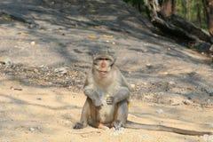 Macaquefallhammer, der aus den Grund und das Anstarren stationiert Stockfotografie