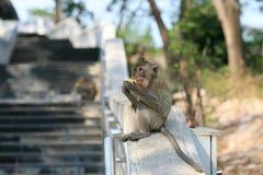 Macaquefallhammer, der Mais auf der Geländerdocke isst Stockfotos