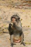 Macaquefallhammer, der Mais aus den Grund isst Lizenzfreie Stockbilder