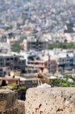 Macaquefallhammer mit Plastiktasche in Jaipur Stockbild