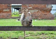 Macaquefallhammer mit Schätzchen Lizenzfreie Stockfotos