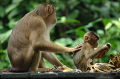 Macaquefallhammer mit Schätzchen, Borneo, Asien Stockfotografie