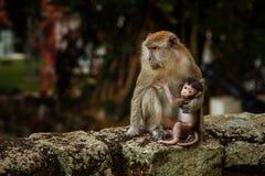 Macaquefamilie met lange staart van moeder en kind stock fotografie