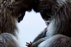 Macaquefamilj Royaltyfria Bilder