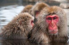 Macaquefamilj i en varm vår, Nagano prefektur, Japan Fotografering för Bildbyråer