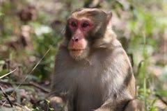 Macaquemens Stock Foto
