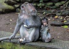 Macaquemoder och barn Arkivbild