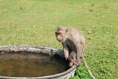 Macaquemutterholdingschätzchen, zum des Wassers zu trinken Lizenzfreie Stockbilder