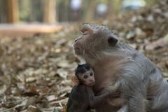Macaquen för den långa svansen behandla som ett barn omfamnar hans moder arkivbild