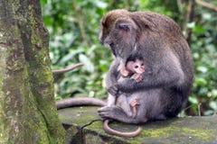 Macaquen med henne behandla som ett barn arkivfoton