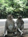 Macaquen på Angkor Wat arkivfoton