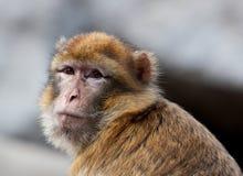 Macaqueportrait Lizenzfreies Stockfoto