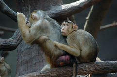 Macaques. Two macaques - mother and baby Royalty Free Stock Photos
