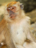 Macaques Royalty Free Stock Images