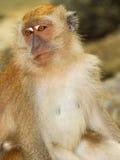 Macaques Images libres de droits