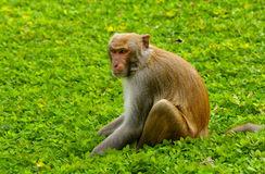 Macaques fotos de archivo libres de regalías