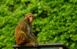 Macaques Stock Image