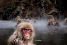 Macaques Stock Photos