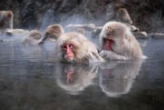 Macaques Royalty Free Stock Image