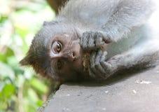 macaques Στοκ Φωτογραφία