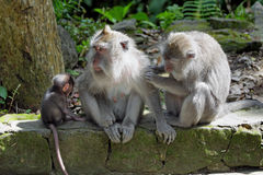 Macaques Foto de Stock Royalty Free