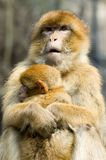 Macaques. Portrait of two macaques - mother and a baby Stock Image