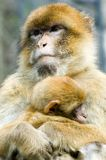 Macaques. Portrait of two macaques - mother and a baby Royalty Free Stock Image