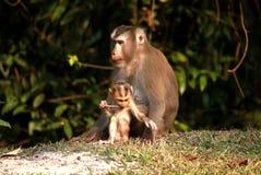 Macaques Imagen de archivo