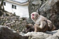 Macaques Lizenzfreie Stockfotos