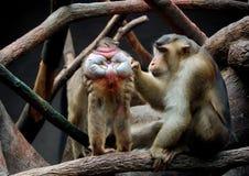 macaques Lizenzfreies Stockbild