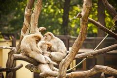 macaques photo libre de droits