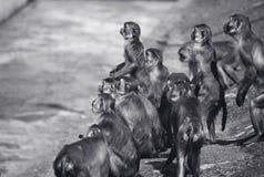 Macaques Fotografia Stock Libera da Diritti