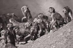Macaques Immagini Stock