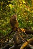 macaques Στοκ Εικόνες