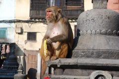 Macaques ape eating banana-Monkey Temple-Kathmandu. Macaques monkey eats a banana - old world monkey - Rhesus monkey (Macaca mulatta) - By the Swayambhunath stock photography
