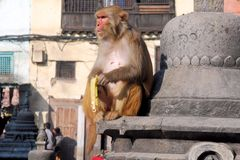 Macaques ape- Monkey Temple - Kathmandu - Nepal Stock Photos