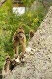 macaques barbary Стоковое Изображение RF