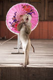 Macaques in circus fashion shows with an umbrellaThailand Phuket. Royalty Free Stock Image